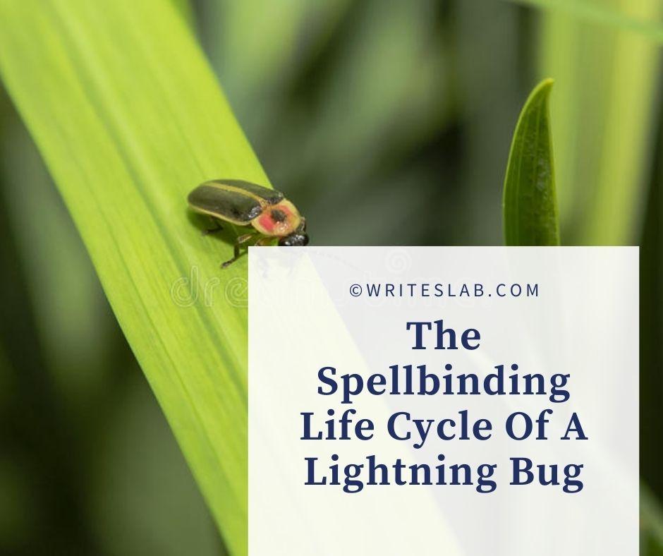 The Spellbinding Life Cycle Of A Lightning Bug