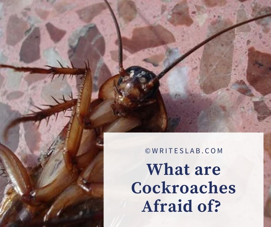 What are Cockroaches Afraid of?