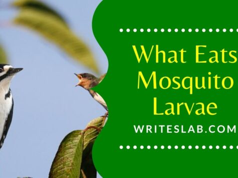 What Eats Mosquito Larvae