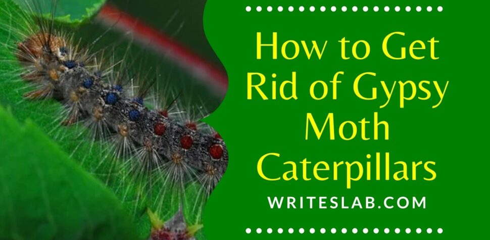 How to Get Rid of Gypsy Moth Caterpillars