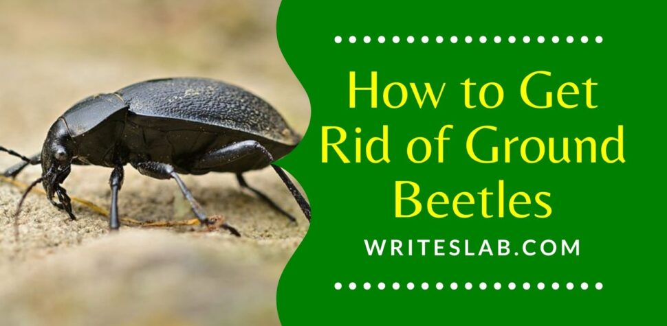 How to Get Rid of Ground Beetles