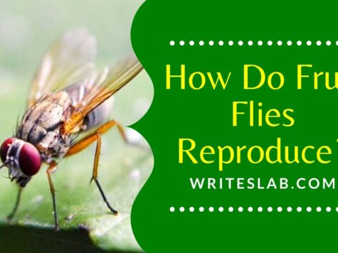 How Do Fruit Flies Reproduce?